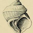 Image of <i>Crossea biconica</i> Hedley 1902