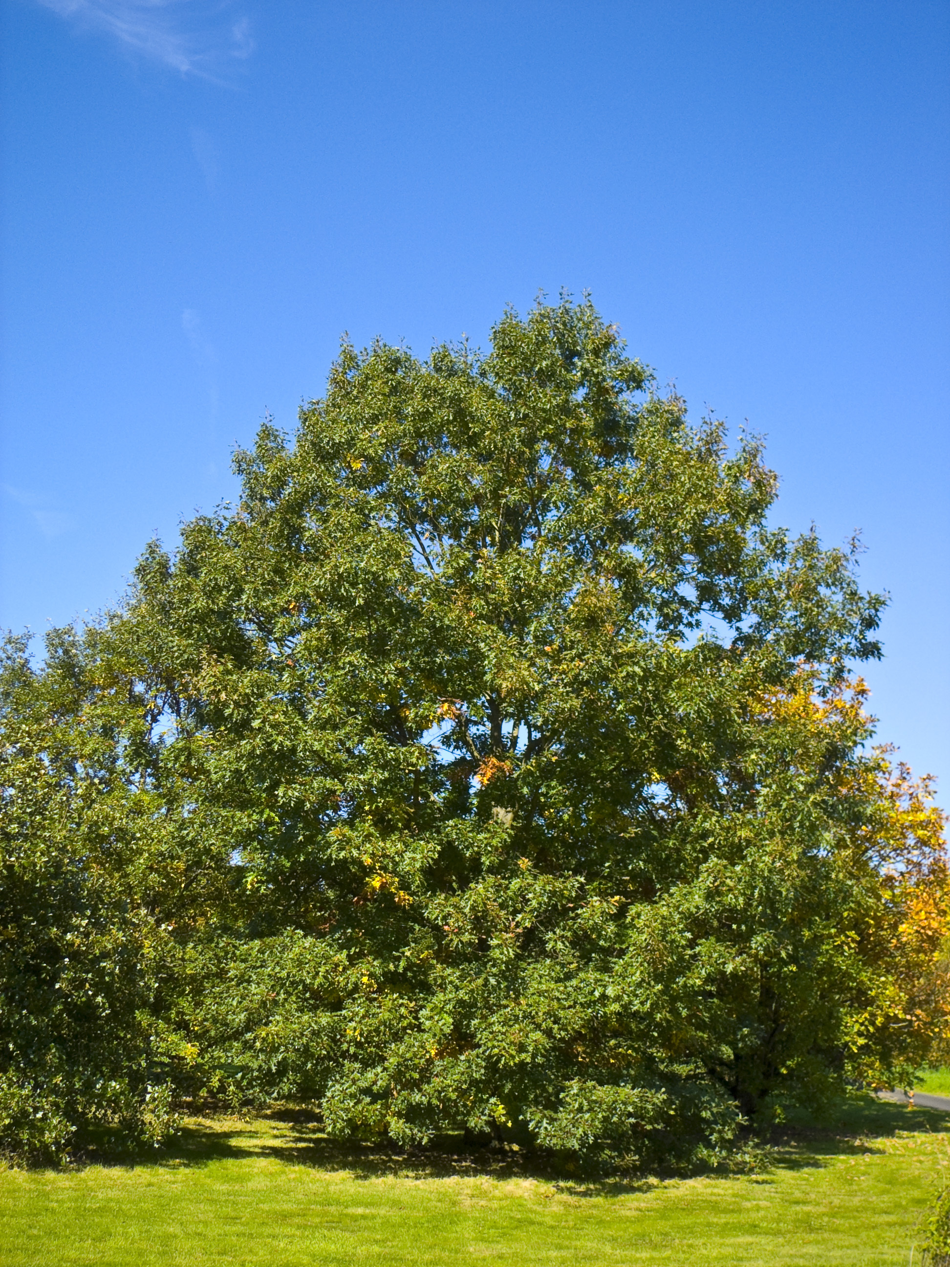 Image of Black Oak