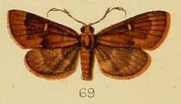 Image of <i>Piletocera inconspicualis</i> Kenrick 1907