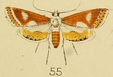 Image of <i>Aulacodes lunalis</i> Kenrick 1907