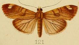 Image of <i>Dichocrocis bimaculalis</i> Kenrick 1907
