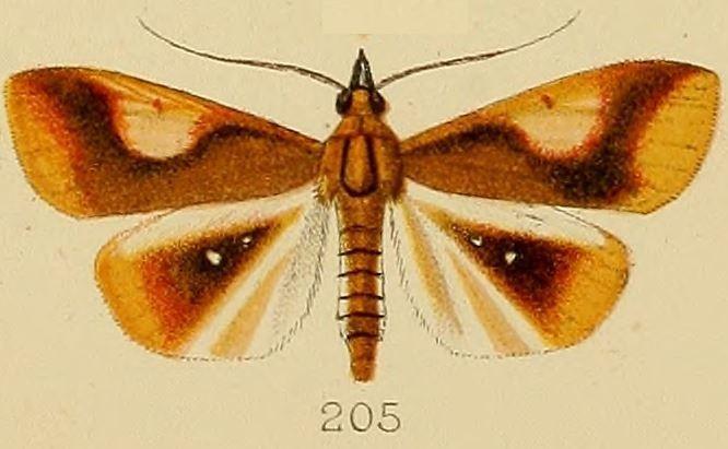Image of <i>Calamochrous albipunctalis</i> Kenrick 1907