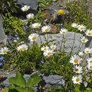 Image of <i>Leucanthemum heterophyllum</i> (Willd.) DC.