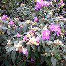 Image of <i>Osbeckia stellata</i> Buch.-Ham. ex D. Don