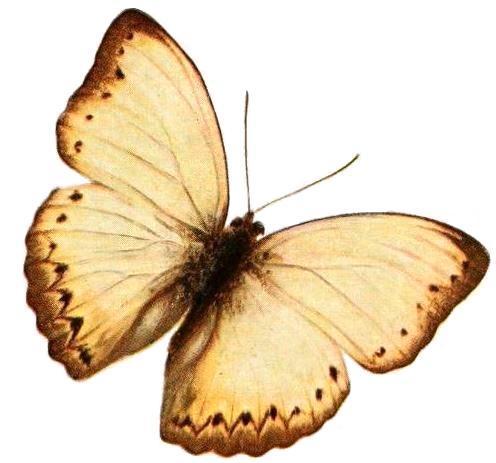 Image of <i>Cymothoe angulifascia</i> Aurivillius 1898