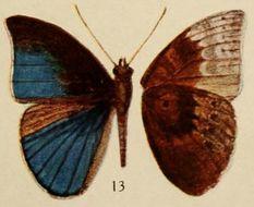 Image of <i>Euriphene kahli</i> Holland 1920