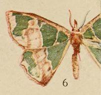Image of <i>Archichlora phyllobrota</i> Holland 1920