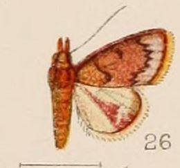 Image of <i>Calamochrous purpuralis</i>
