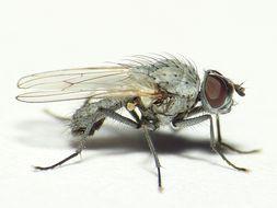 Image of <i>Delia albula</i> (Fallen 1825)