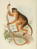 Image of Bay Colobus