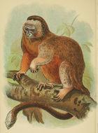 Image of <i>Saguinus leucopus</i> (Günther 1877)