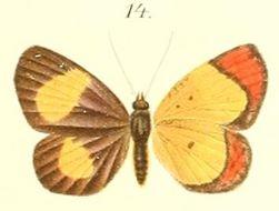 Image of <i>Callidula hypoleuca</i> Butler 1887