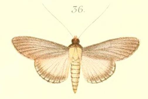 Image of <i>Caprinia versicolor</i> Pagenstecher 1900