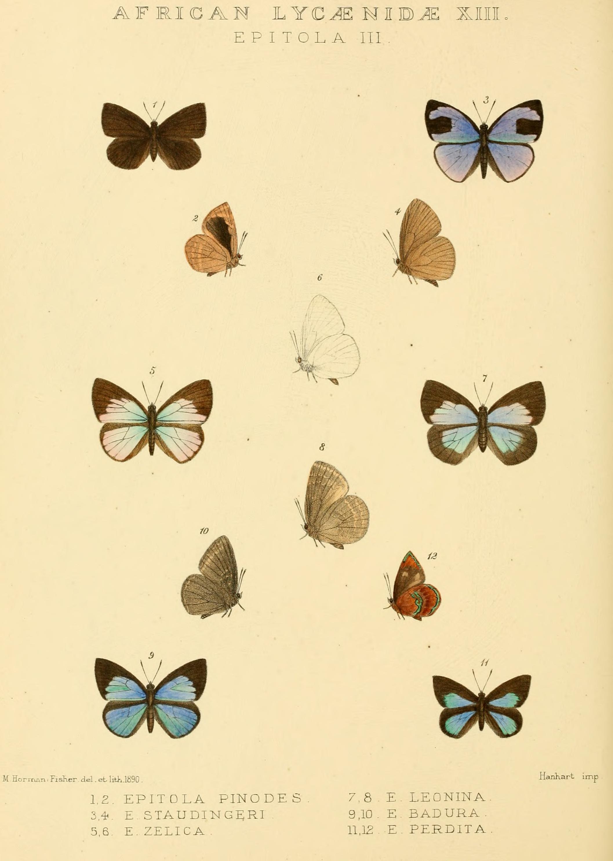 Image of <i>Stempfferia badura</i>