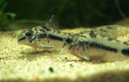 Image of Salt and pepper catfish