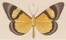 Image of <i>Celerena mutata</i> Walker 1865