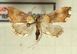 Image of <i>Agrotera nemoralis</i> Scopoli