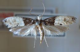 Image of <i>Trichophaga tapetzella</i> (Linnaeus 1758)