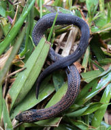 Image of Common rough-sided snake