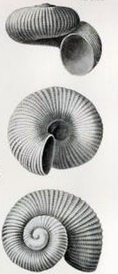 Image of <i>Liotella anxia</i> (Hedley 1909)