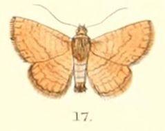 Image of <i>Striglina strigosa</i> Moore 1882