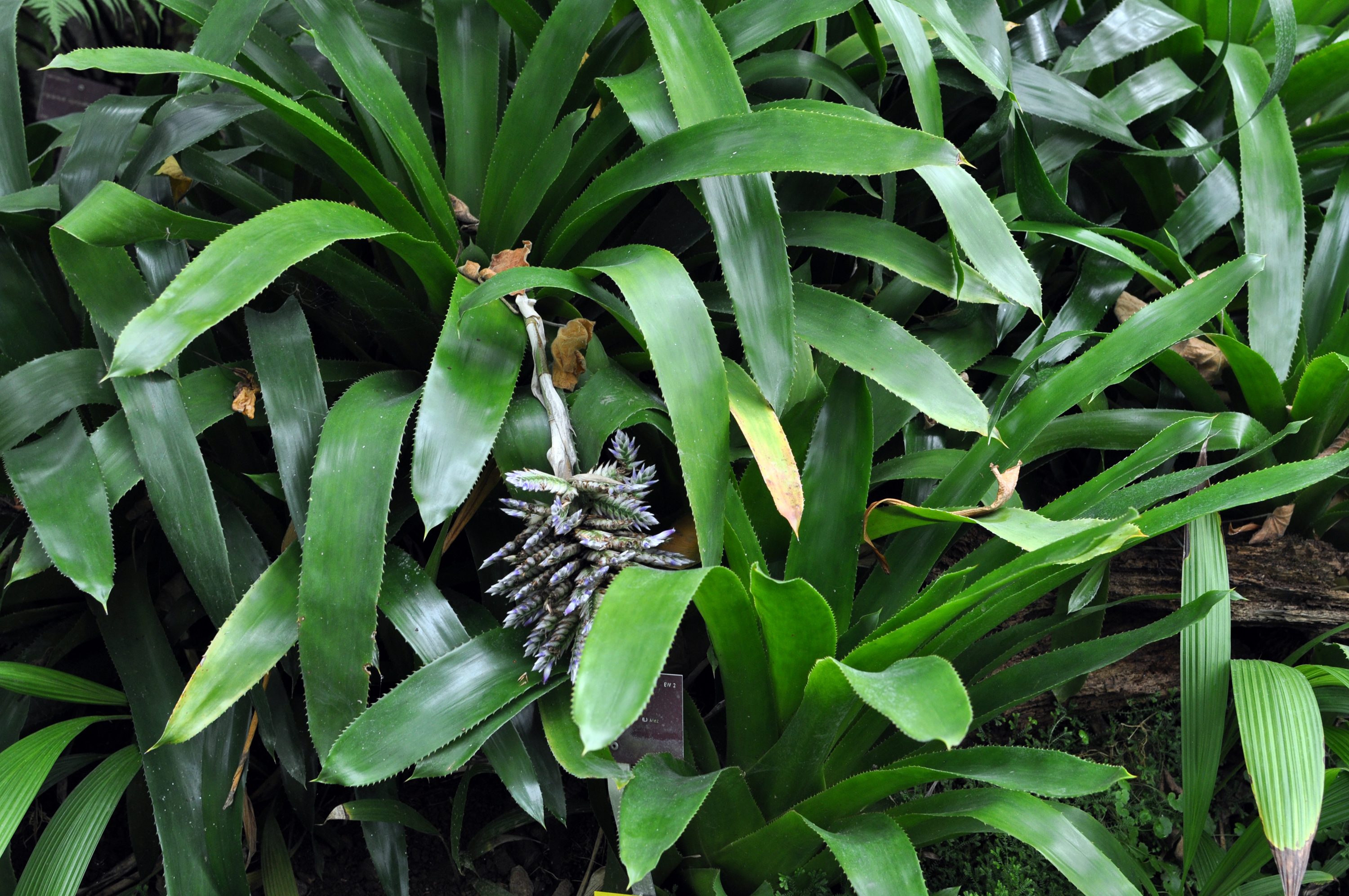 Image of <i>Aechmea serrata</i> (L.) Mez
