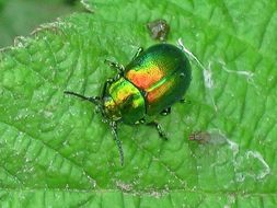 Image of Tansy beetle