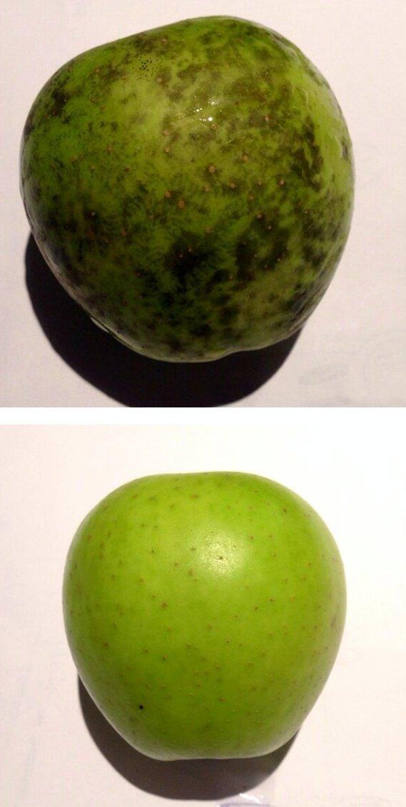 Image of <i>Phyllachora pomigena</i>