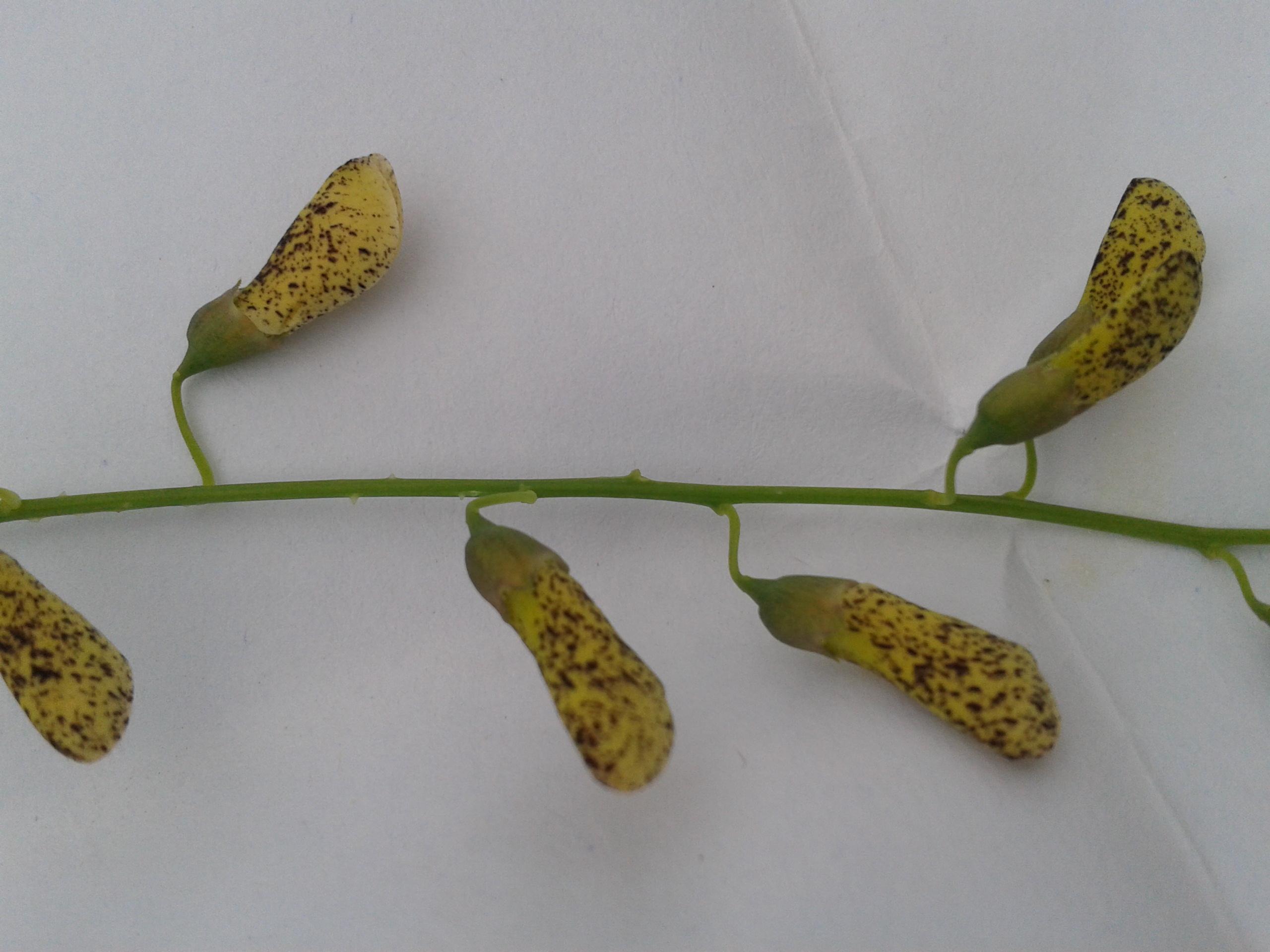 Image of Sesbania Pea