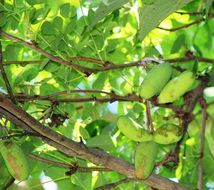 Image of chocolate vine