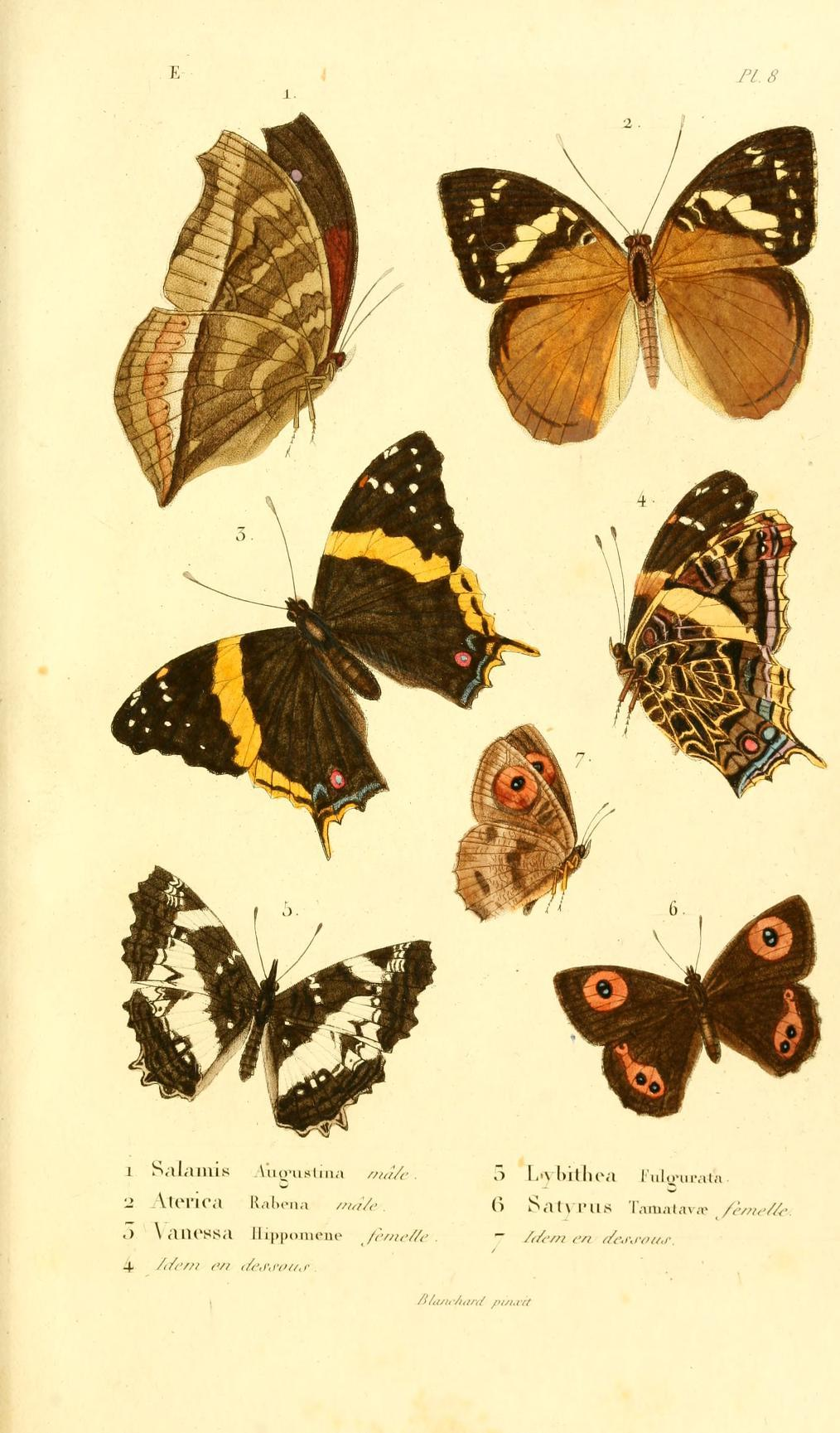 Image of <i>Aterica rabena</i> Boisduval 1833