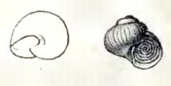 Image of <i>Skenea trochoides</i> (Friele 1876)