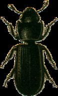 Image of cadelle beetle
