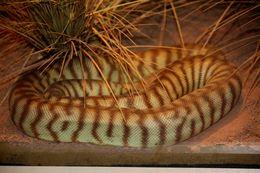 Image of Ramsay's Python