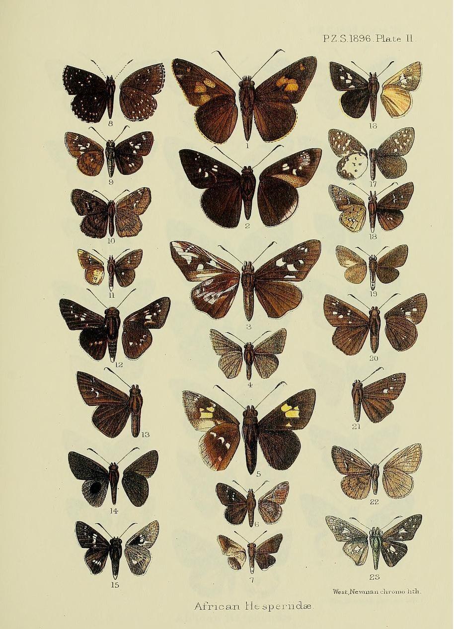 Image of <i>Paracleros placidus</i> Plötz 1879