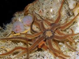 Image of black brittle star