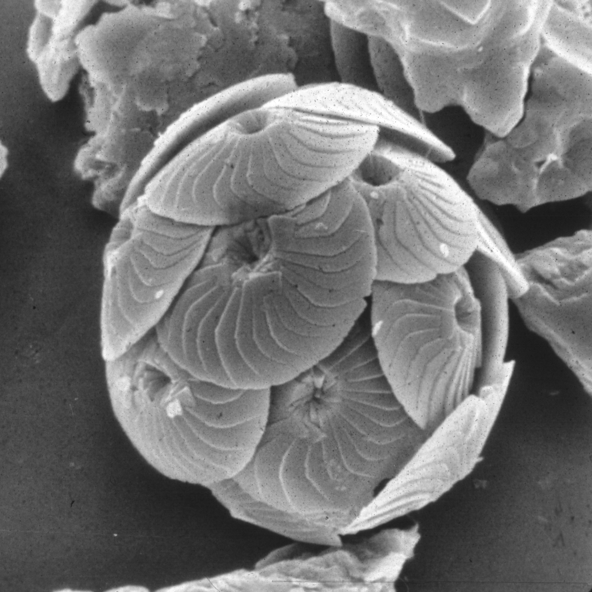 Image of Coccolithus