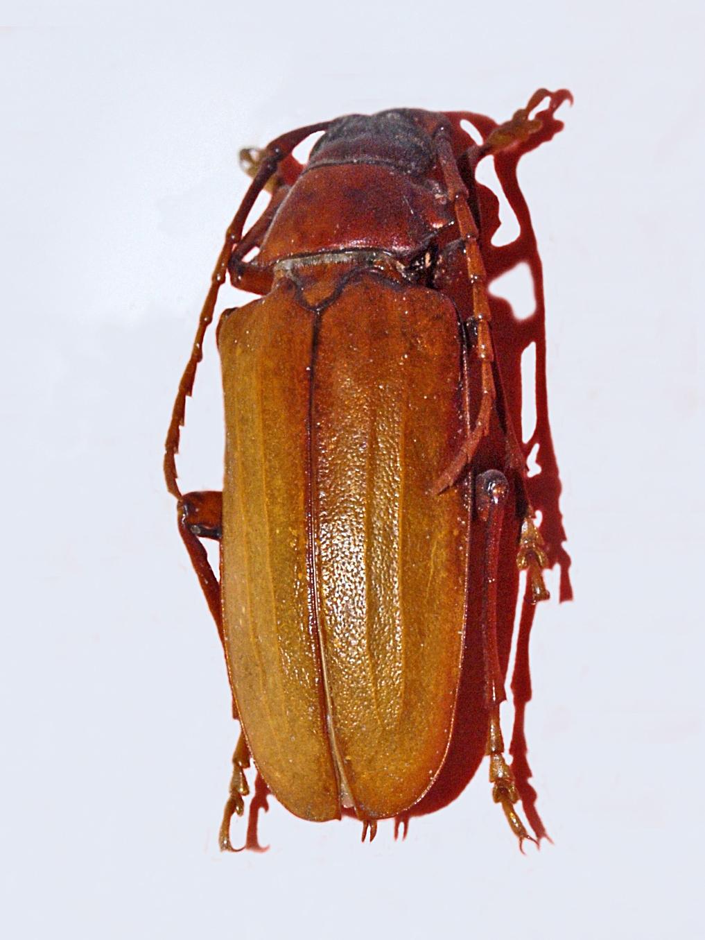 Image of <i>Dorysthenes buqueti</i>