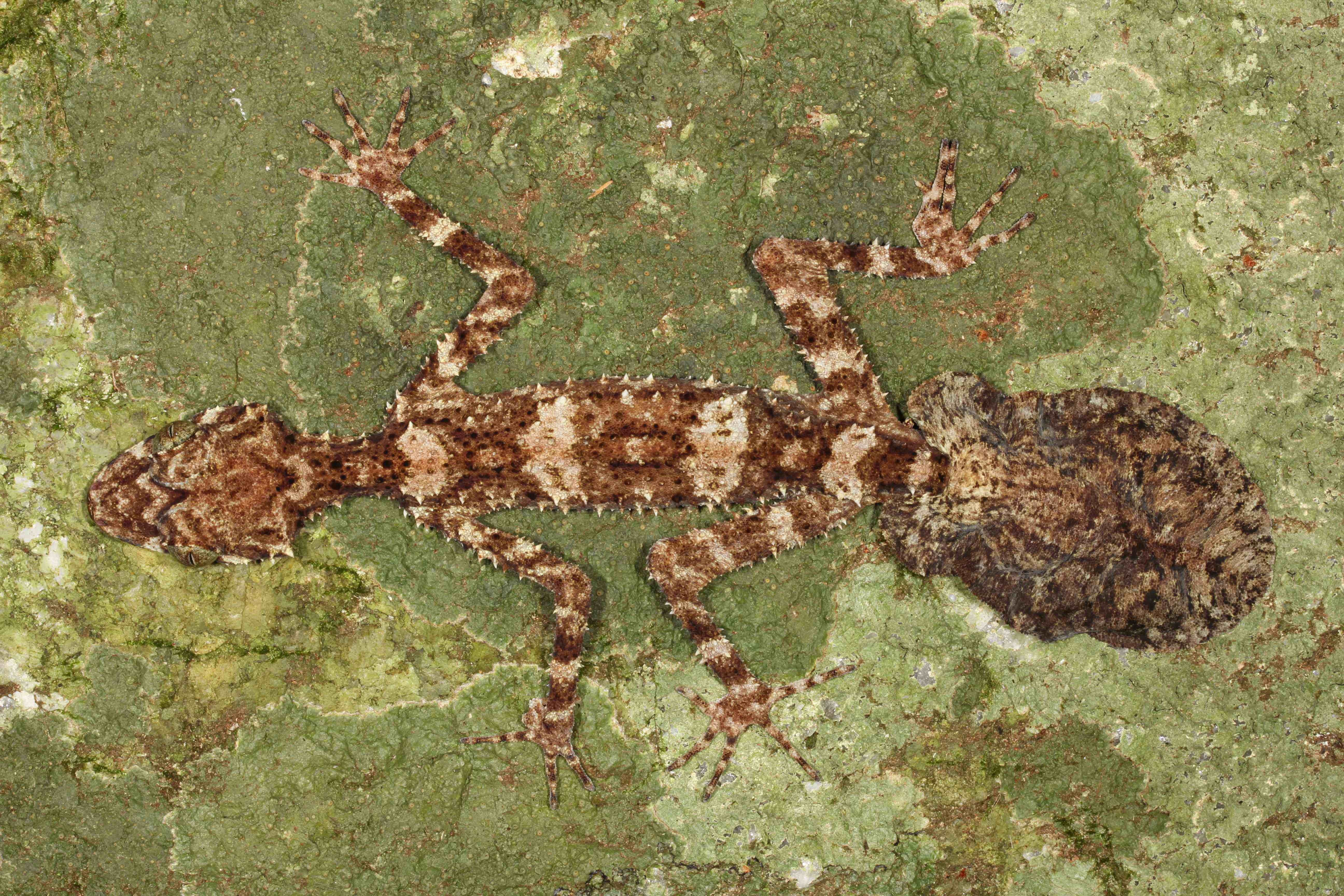 Image of Cape Melville leaf-tailed gecko