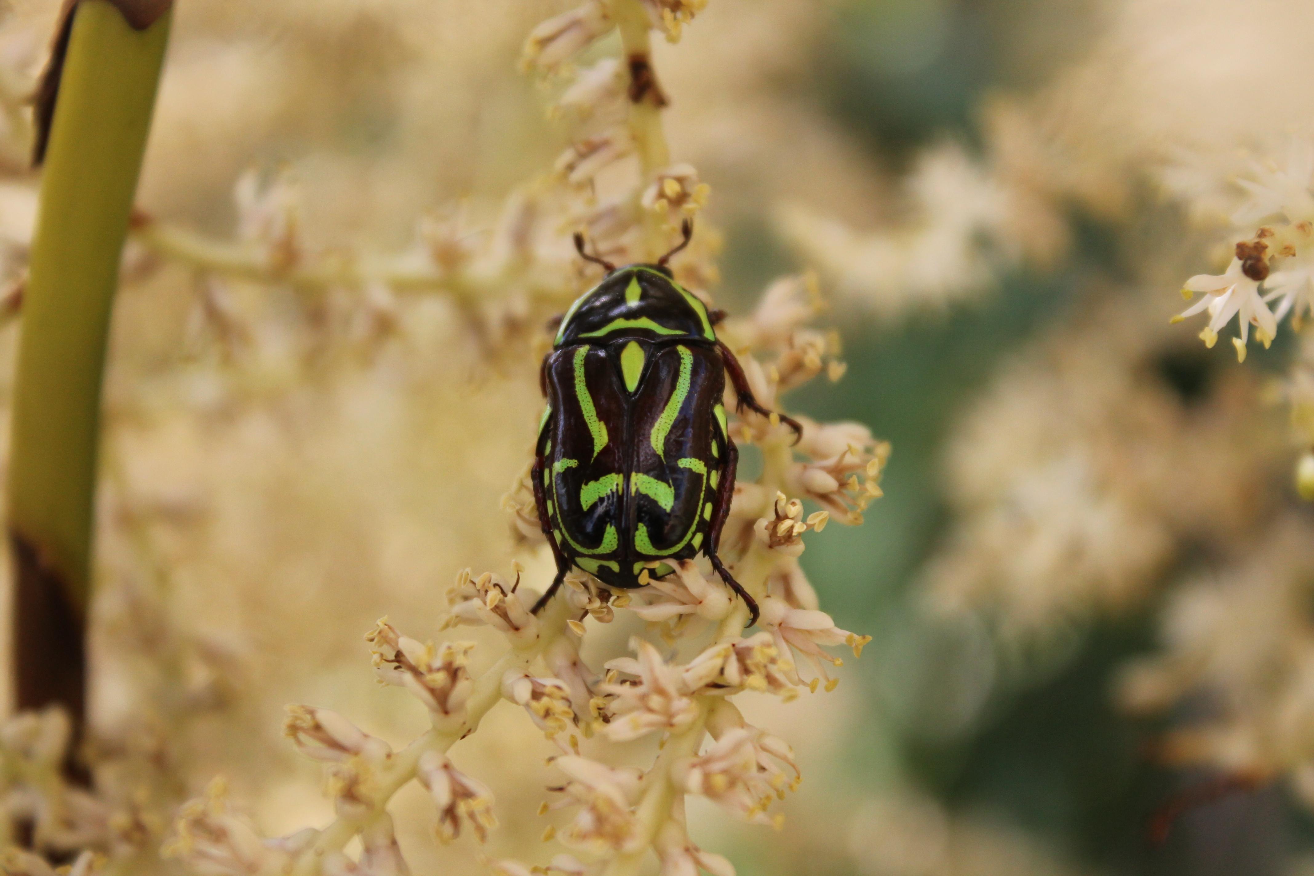 Image of Fiddler Beetle