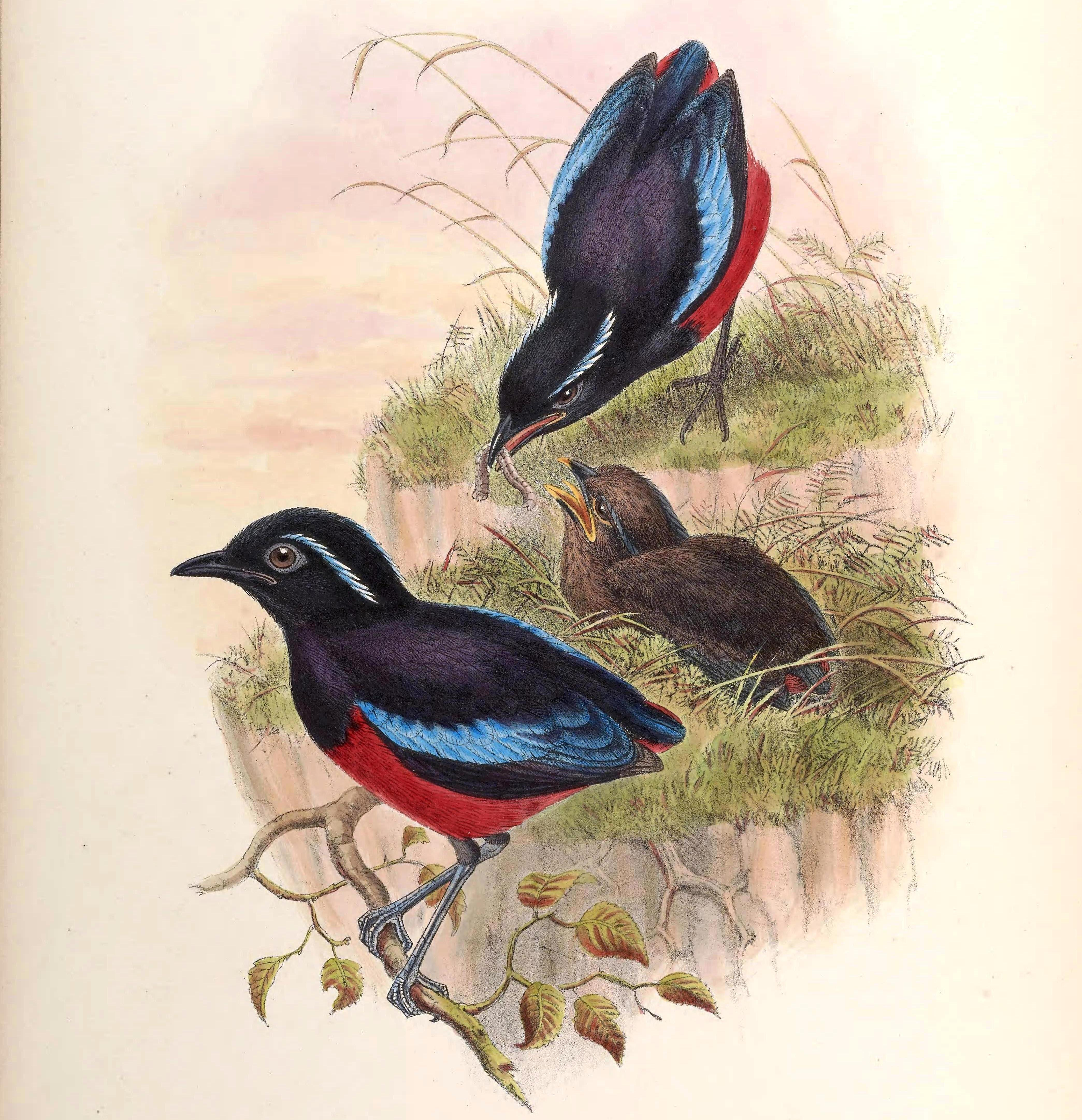 Image of Black-crowned Pitta