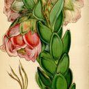 Image of Marsh Rose