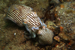 Image of Striped Pyjama Squid