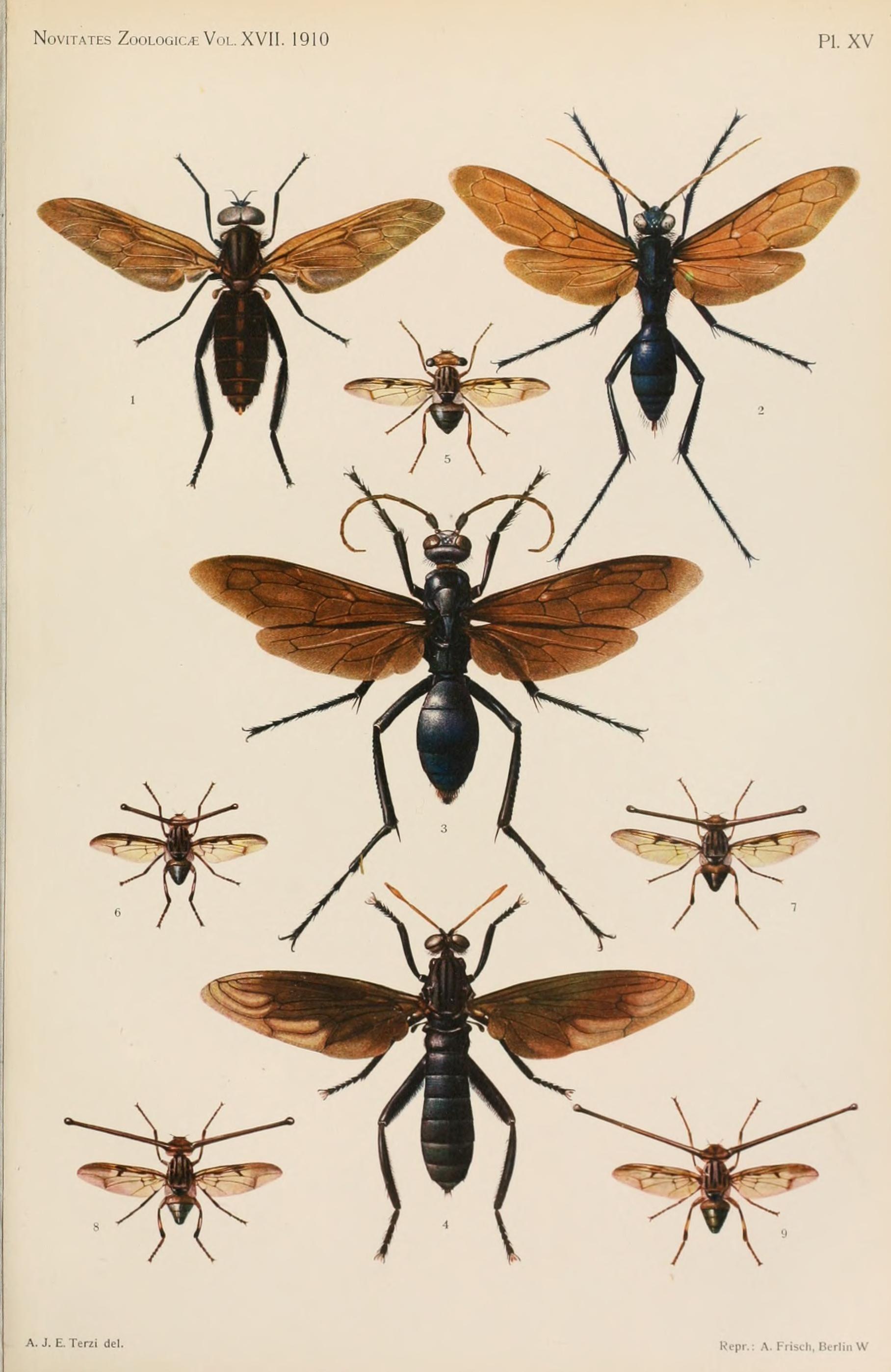 Image of Pantophthalmidae