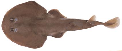 Image of Tasmanian Numbfish