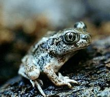 Image of Great Basin Spadefoot