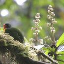 Image of Scarlet-breasted Fruiteater