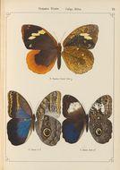 Image of <i>Dynastor napoleon</i> Doubleday (1849)