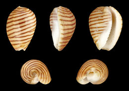 Image of belted margin shell