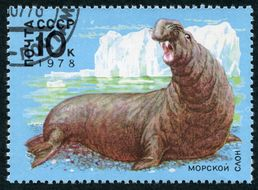 Image of Elephant seal